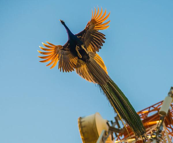 孔雀が飛ぶ姿が神々しすぎる…!空飛ぶクジャクの画像 (6)
