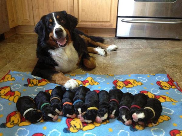 お母さん犬とその子犬達のソックリ集合写真!犬親子画像 (16)