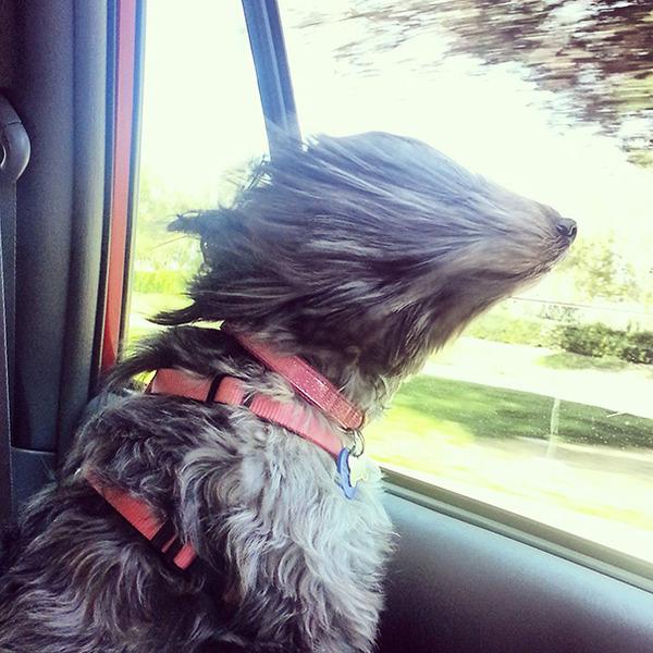 走行中の車から顔を出す犬のおもしろ顔画像 8