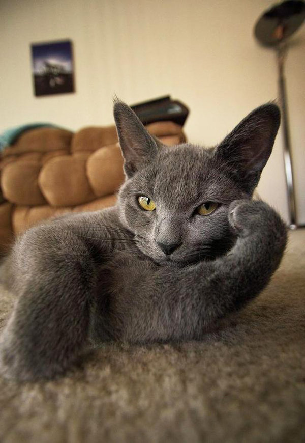 モデルのようにポーズを取る可愛い動物特集 猫 3