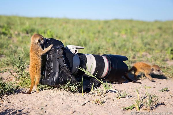 カメラに興味津々な動物の画像 (8)