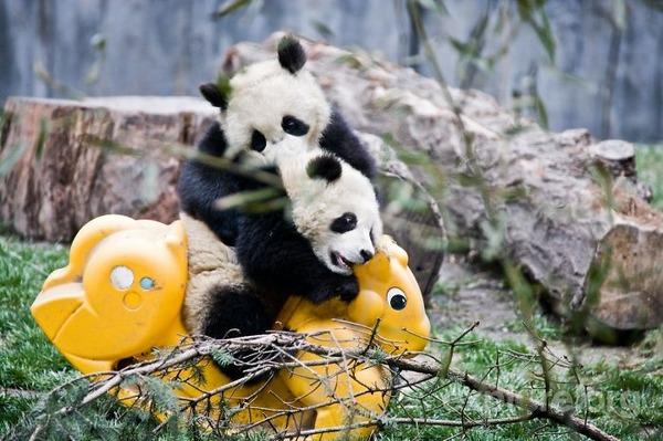 かわいいジャイアントパンダの画像 17