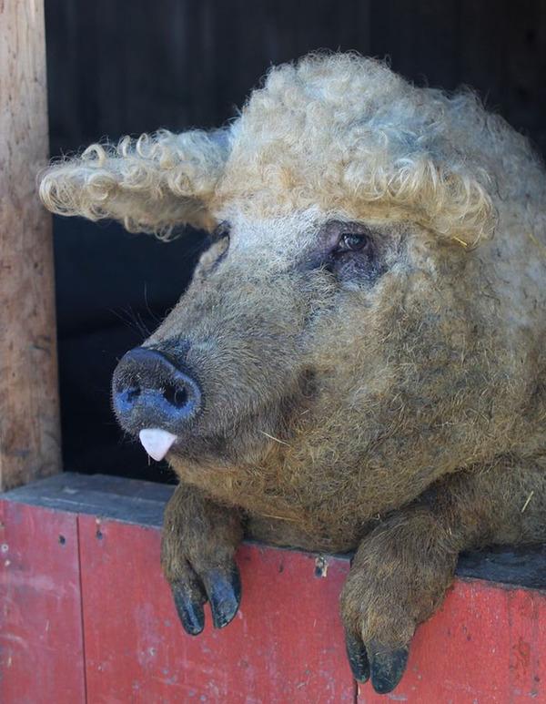 羊みたいな体毛を持った豚『マンガリッツァ』。モフモフ! (4)