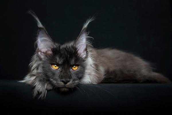 メインクーン画像!気品ある毛並みに威厳ある風貌の猫 (28)