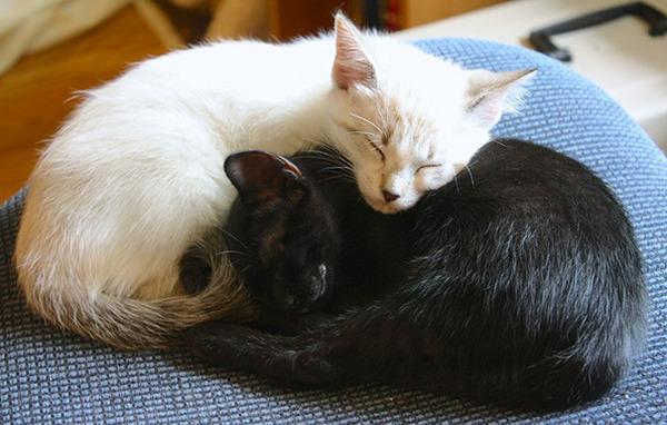 黒猫と白猫どっちが好き?どっちも可愛すぎ【猫画像】 (17)