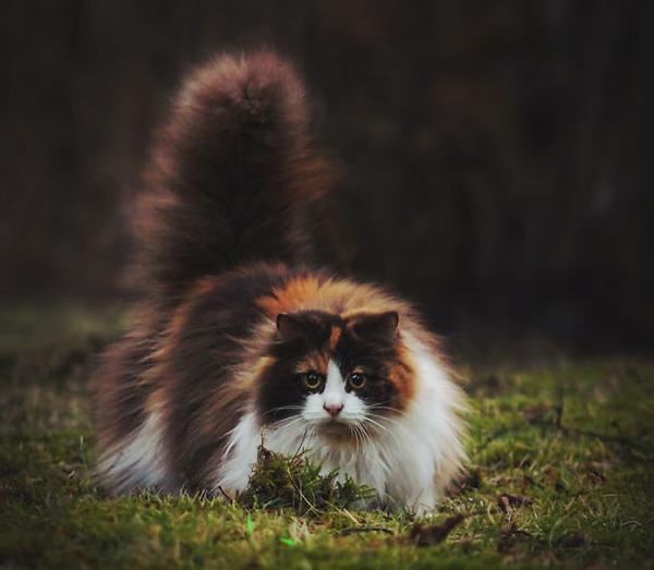 綿菓子フワフワ!モフモフしたくなる長毛種の猫画像 (34)