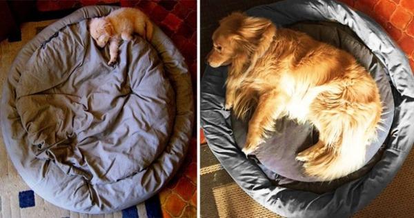 大きくなるわんこ!成長する愛犬のビフォーアフター画像! (13)