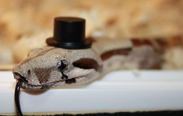 なんだこれカワイイぞ!帽子を被ったヘビ画像特集 (26)