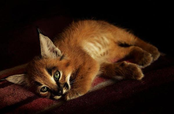 カラカルの画像!麻呂眉と耳の房毛が特徴的なネコ科動物 (20)