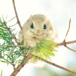 エゾモモンガ!動物王国、北海道の可愛い野生動物の魅力満載な画像