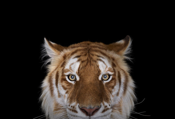 ゴールデンタイガーの肖像写真、スタジオポートレート