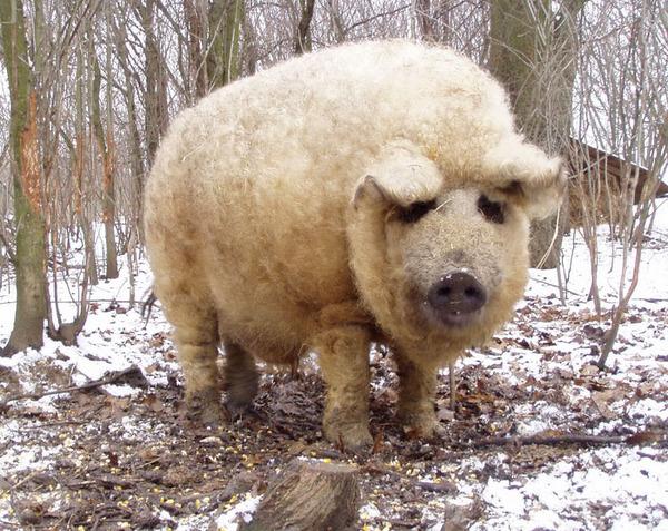羊みたいな体毛を持った豚『マンガリッツァ』。モフモフ! (19)