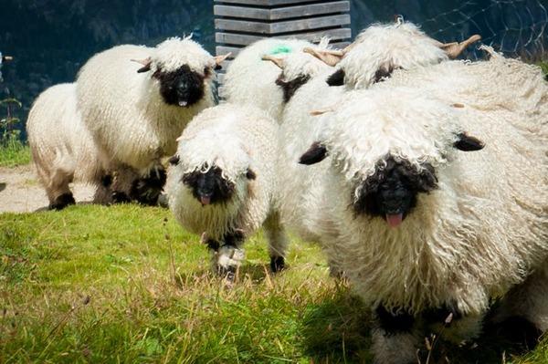 ヴァレーブラックノーズシープ!モフモフな羊 (9)
