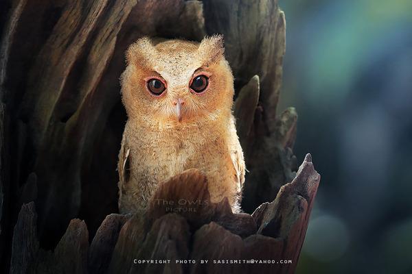 可愛いフクロウの画像 8