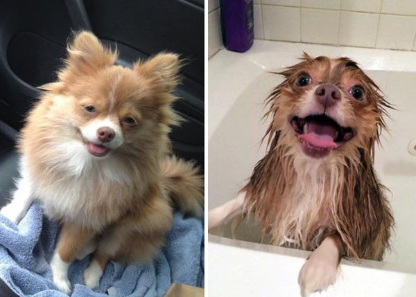 もふもふな動物たちがお風呂で変貌する…!【犬猫画像】 (7)