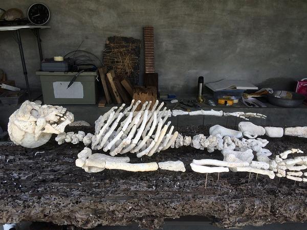 本物みたい。珊瑚の欠片で作る人体の骨格標本 (1)