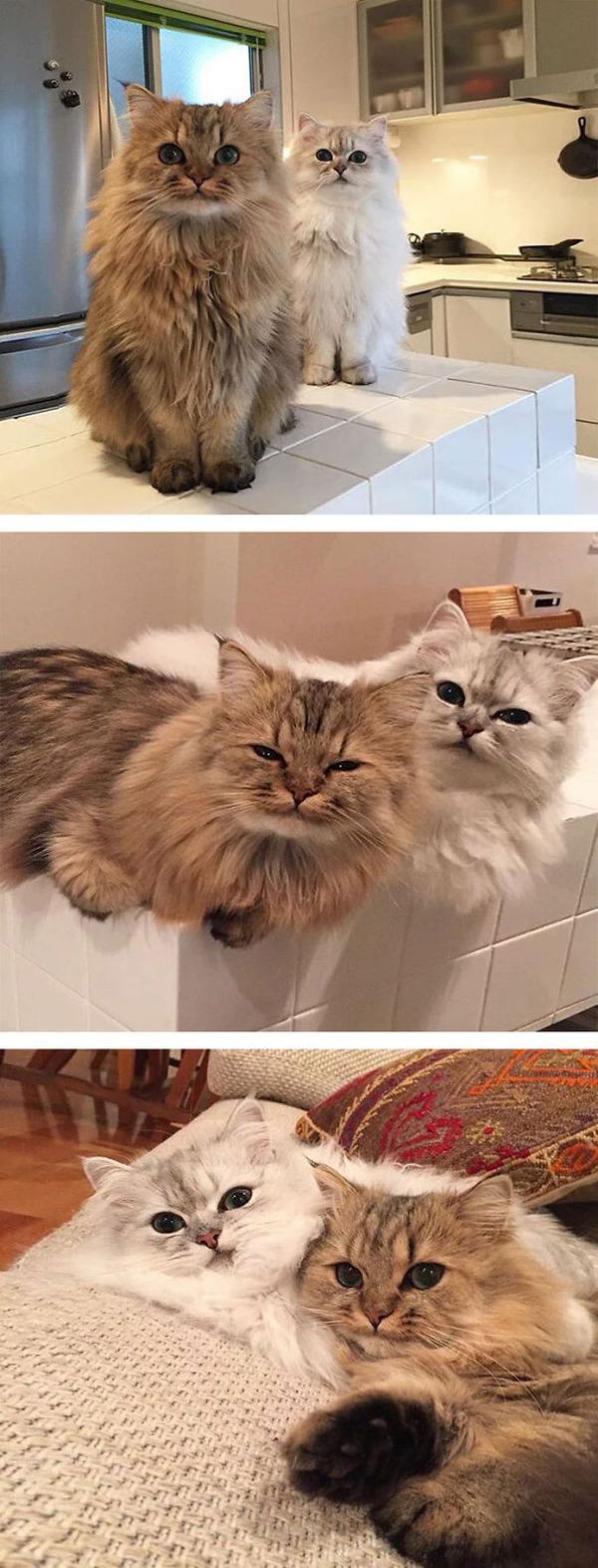 綿菓子フワフワ!モフモフしたくなる長毛種の猫画像 (16)