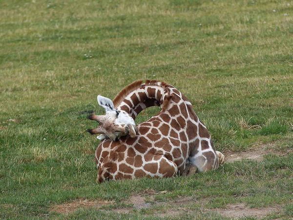 キリンの寝方、キリンの睡眠モード姿勢 6