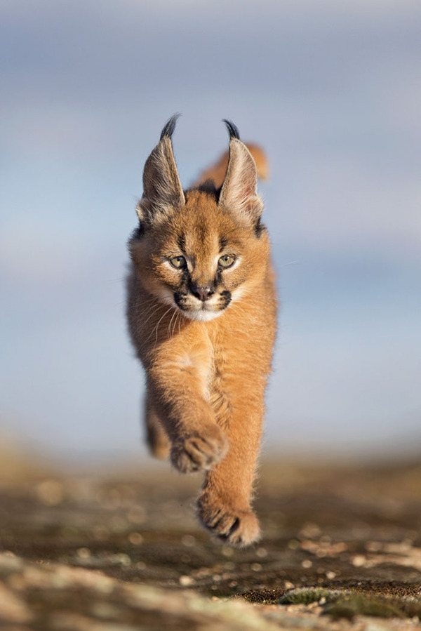 カラカルの画像!麻呂眉と耳の房毛が特徴的なネコ科動物 (31)