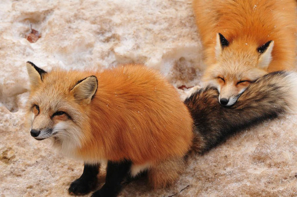 蔵王キツネ村の狐