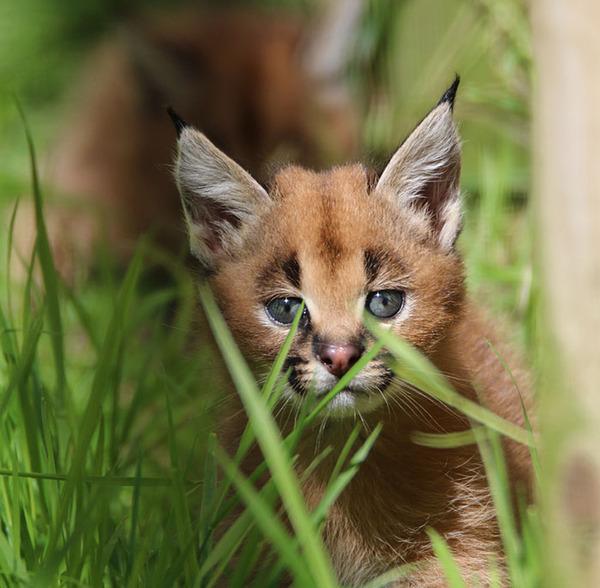 カラカルの画像!麻呂眉と耳の房毛が特徴的なネコ科動物 (14)