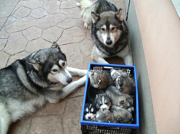 お母さん犬とその子犬達のソックリ集合写真!犬親子画像 (29)