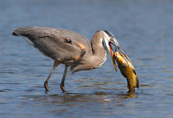 もう逃げられない…!鳥が魚をパックリ食べちゃう瞬間的画像 (3)