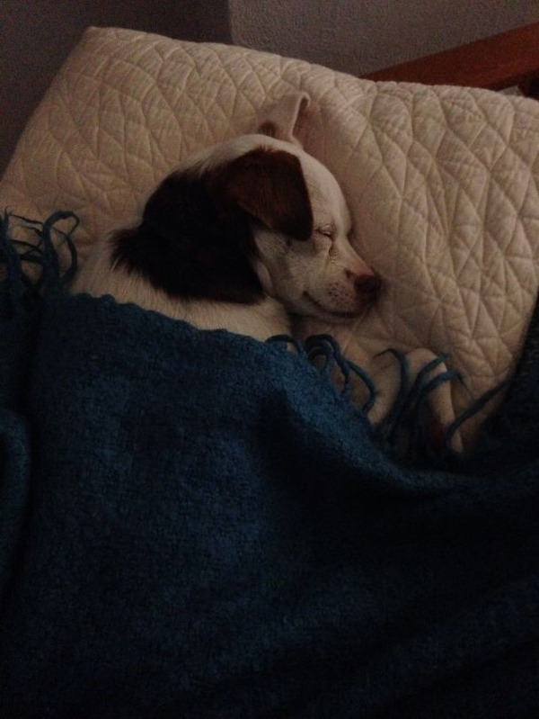 ベッドで寝る犬 かわいいおもしろ画像 32