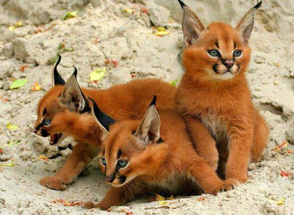カラカルの画像!麻呂眉と耳の房毛が特徴的なネコ科動物 (5)
