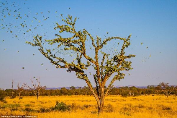8万羽のセキセイインコの群れをオーストラリアの内陸で観測! (3)