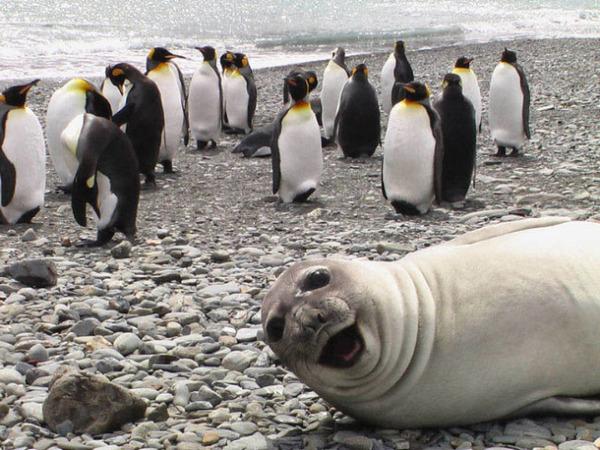ペンギンの中にアシカ