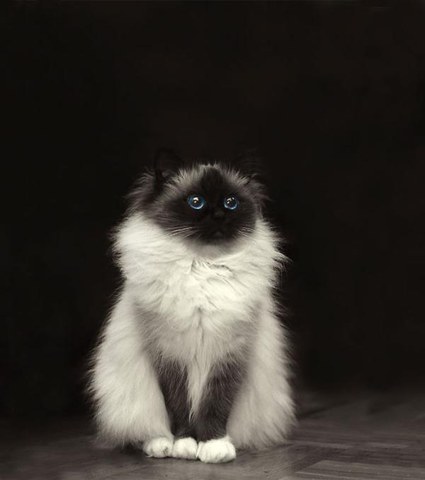 綿菓子フワフワ!モフモフしたくなる長毛種の猫画像 (33)