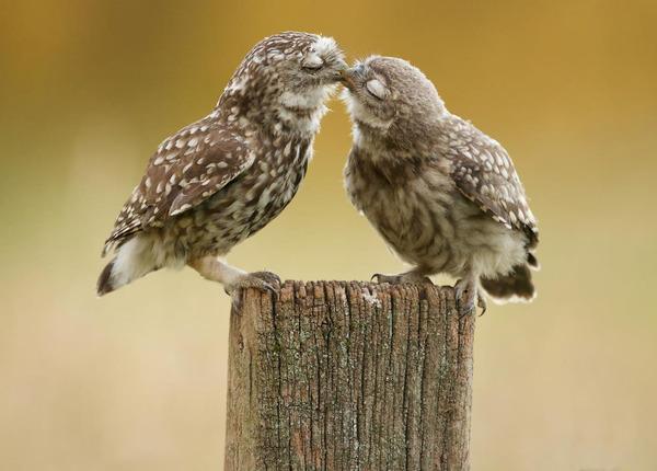 フクロウのキス