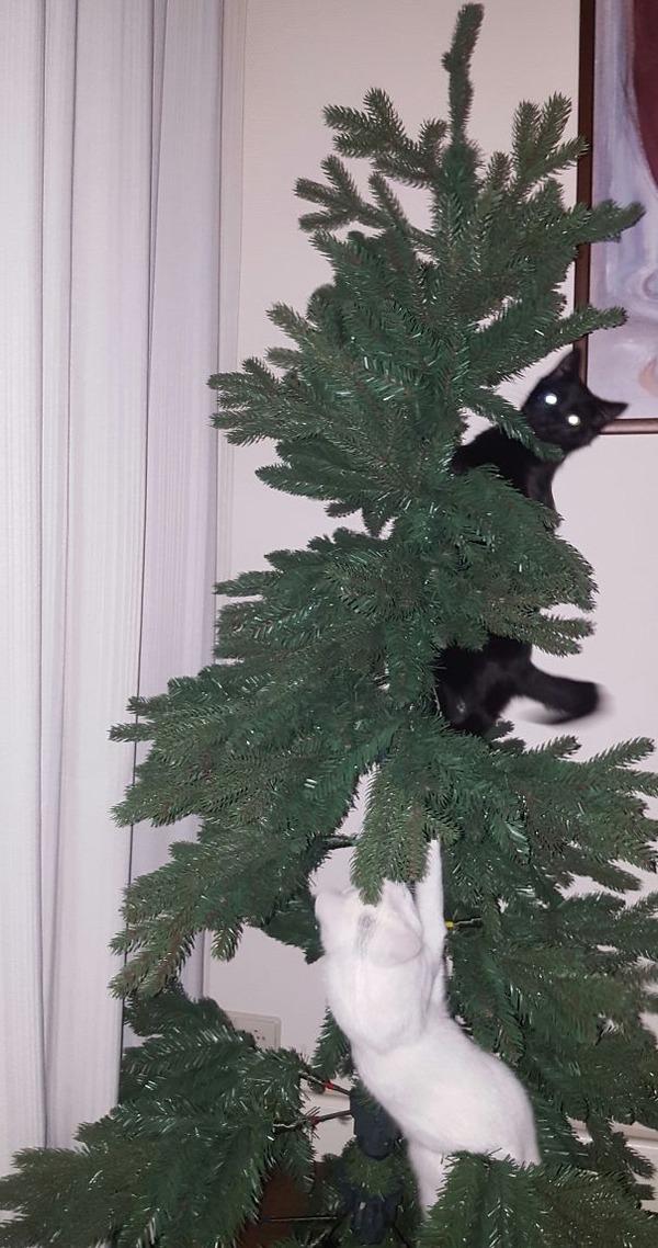 猫、あらぶる!クリスマスツリーに登る猫画像 (47)