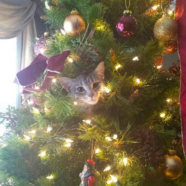 猫、あらぶる!クリスマスツリーに登る猫画像 (25)