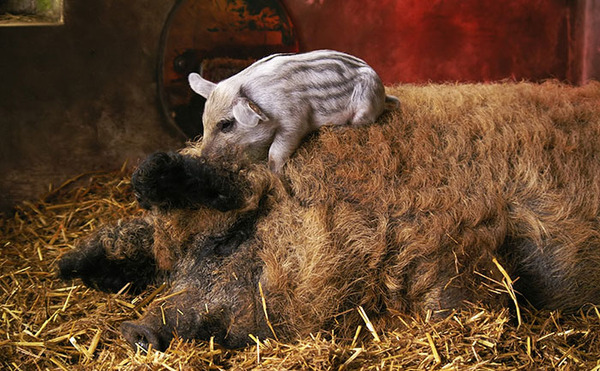 羊みたいな体毛を持った豚『マンガリッツァ』。モフモフ! (2)