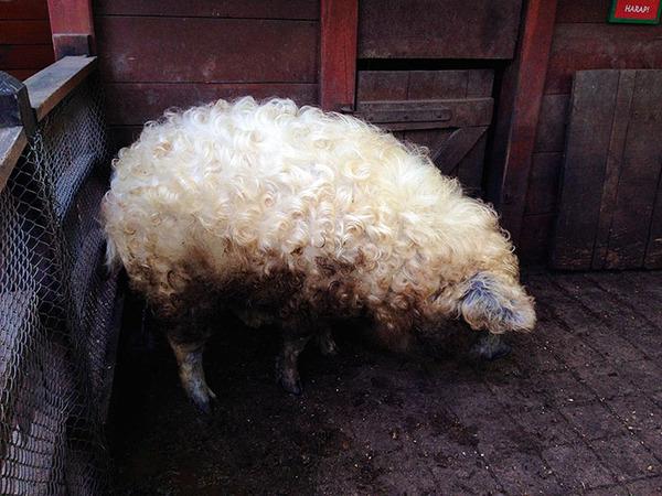 羊みたいな体毛を持った豚『マンガリッツァ』。モフモフ! (21)