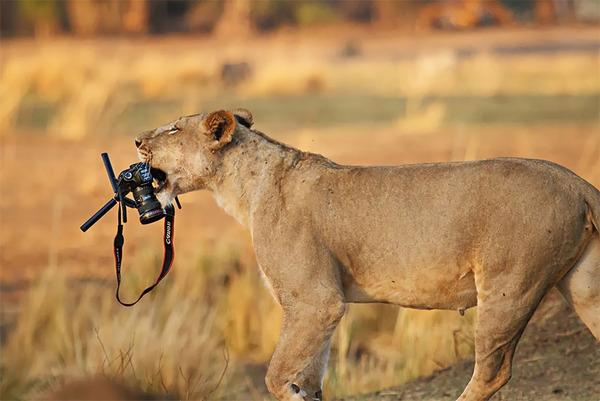 カメラに興味津々な動物の画像 (17)