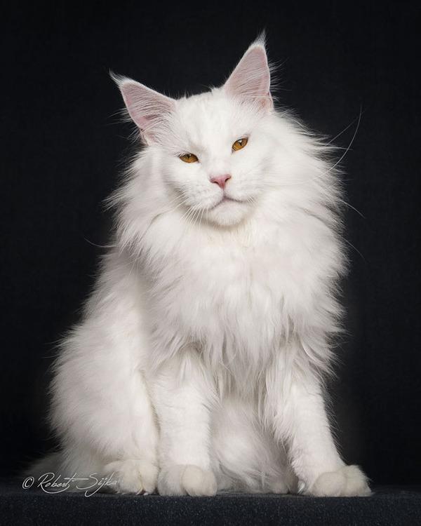 メインクーン画像!気品ある毛並みに威厳ある風貌の猫 (14)
