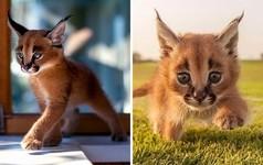 カラカルの赤ちゃん画像!耳の房毛が特徴的なネコ科