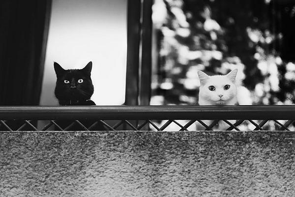 黒猫と白猫どっちが好き?どっちも可愛すぎ【猫画像】 (4)