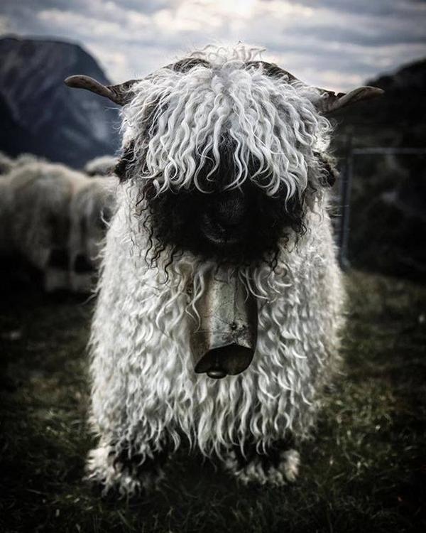 ヴァレーブラックノーズシープ!モフモフな羊 (3)