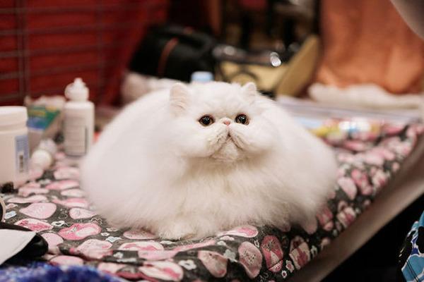 綿菓子フワフワ!モフモフしたくなる長毛種の猫画像 (19)