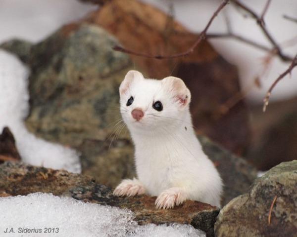 純白が美しすぎるオコジョの画像 6