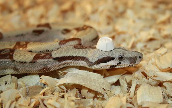 なんだこれカワイイぞ!帽子を被ったヘビ画像特集 (4)