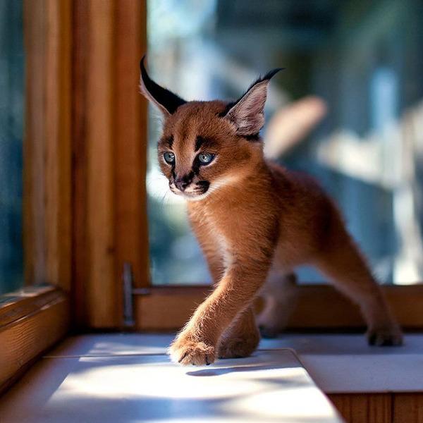 カラカルの画像!麻呂眉と耳の房毛が特徴的なネコ科動物 (4)