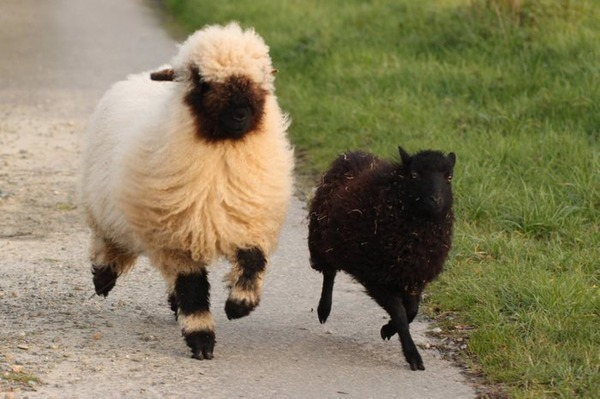 ヴァレーブラックノーズシープ!モフモフな羊 (2)