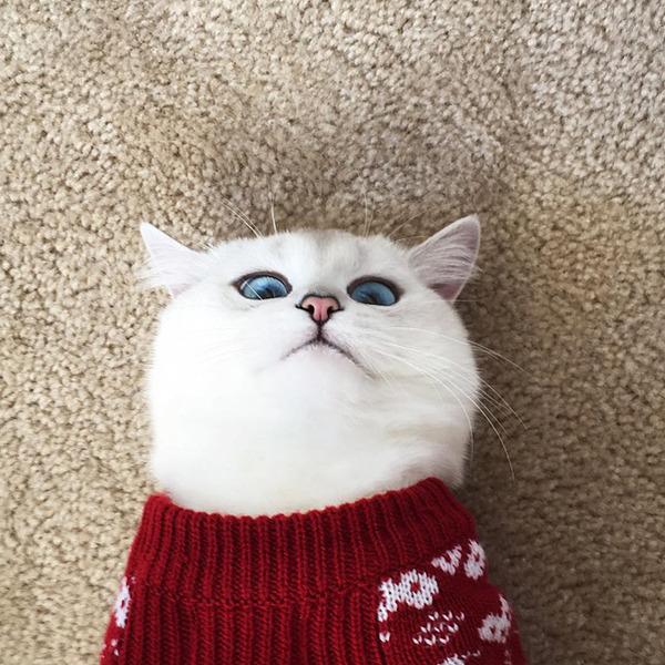 美しい…。綺麗な青い瞳をした白猫が話題!【猫画像】 (7)