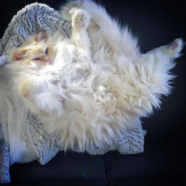 さぁモフれ!ふわふわすぎるラグドールが話題に【猫画像】 (9)