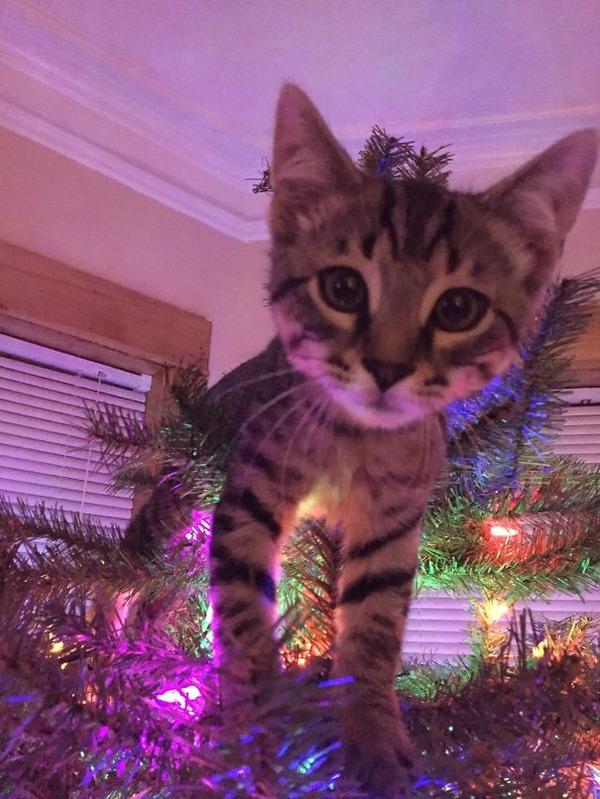 猫、あらぶる!クリスマスツリーに登る猫画像 (36)